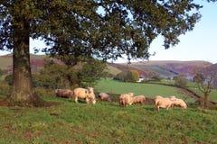 Schafe, die unter einer Eiche stillstehen Lizenzfreies Stockbild