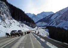 Schafe, die Verkehr stoppen Stockbilder