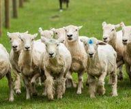 Schafe, die in Wiese in Neuseeland laufen Stockbild