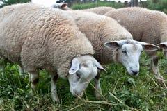 Schafe, die Wiese weiden lassen Stockfotos