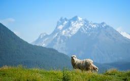 Schafe, die zur Kamera schauen Lizenzfreies Stockfoto