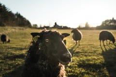 Schafe, die zur Kameranahaufnahme, ländliches Gebiet in Dänemark mit Herde von Schafen schauen Stockfotografie