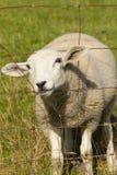 Schafe, die zwar Metallzaun schauen stockfoto