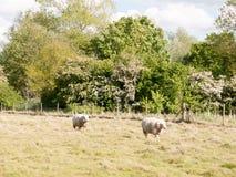 Schafe draußen im Land, das im Sommer L geht und stillsteht Lizenzfreie Stockbilder