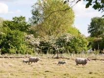 Schafe draußen im Land, das im Sommer L geht und stillsteht Lizenzfreies Stockfoto