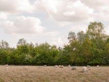 Schafe draußen im Land, das im Sommer L geht und stillsteht Stockfotografie