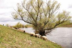 Schafe durch den Fluss Stockbild