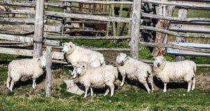 Schafe durch ein Sheepfold auf Rye-Sümpfen, East Sussex, England lizenzfreie stockfotografie