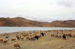 Schafe durch einen See Lizenzfreies Stockfoto