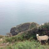Schafe durch Klippe Lizenzfreie Stockbilder