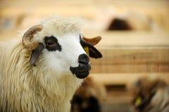 Schafe in einem Bauernhof Stockfotografie