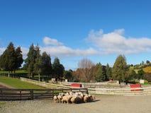 Schafe in einem Bauernhof Lizenzfreies Stockfoto