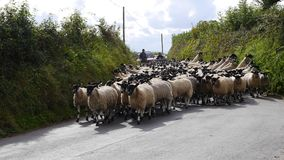 Schafe in einem Feldweg in England Stockbilder