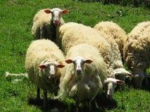 Schafe an einem grünen Feld Stockbild