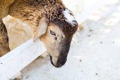 Schafe in einem Käfig Stockbild