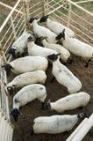 Schafe an einem Rodeo Stockfoto