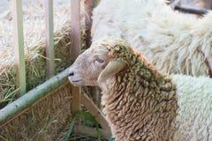 Schafe in einem Stall Stockfoto