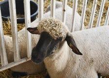 Schafe in einem Stall an der Messe Lizenzfreie Stockfotografie