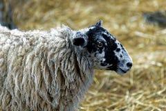 Schafe in einem Stift lizenzfreie stockfotos