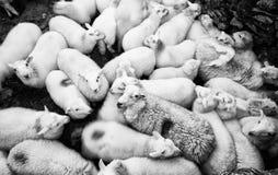 Schafe in einem Stift Stockbild