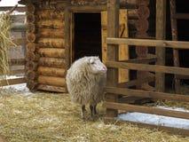 Schafe in einem Stift nahe Scheune Stockbilder