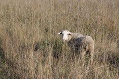 Schafe in einem trockenen Gras Stockbild