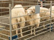 Schafe an einem Viehmarkt Stockbild