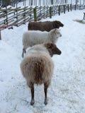 Schafe in einem Weideland ein kalten Tag im Winter Stockbild