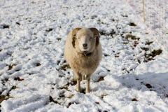 Schafe an einem Wintertag stockfotografie