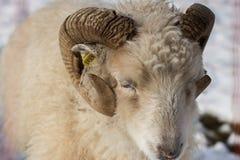 Schafe an einem Wintertag stockfoto