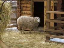 Schafe in einer Hürde nahe Scheune Stockbilder
