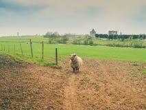 Schafe in einer irischen Wiese Stockfotos