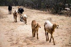 Schafe in einer Linie stockbild