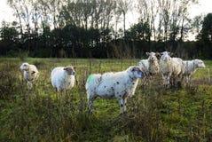 Schafe in einer Naturlandschaft Lizenzfreie Stockbilder