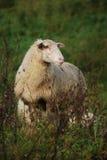 Schafe in einer Naturlandschaft Lizenzfreie Stockfotografie