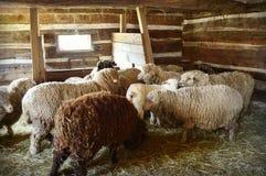 Schafe in einer Scheune Stockfotos