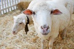 Schafe in einer Scheune, die auf Heu steht Stockfoto