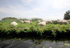 Schafe in einer Wiese Stockfotos