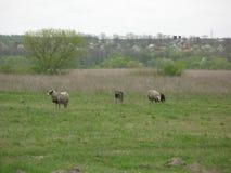 Schafe in einer Wiese Lizenzfreie Stockbilder