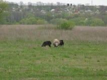 Schafe in einer Wiese Stockfoto