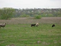 Schafe in einer Wiese Lizenzfreie Stockfotografie
