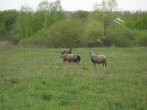 Schafe in einer Wiese Lizenzfreies Stockfoto