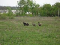 Schafe in einer Wiese Stockbilder