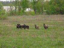 Schafe in einer Wiese Lizenzfreies Stockbild