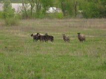 Schafe in einer Wiese Stockbild