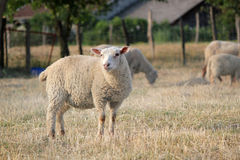 Schafe in einer Wiese mit anderen Stockbild