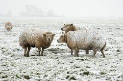 Schafe in einer winterlichen Landschaft Stockbild