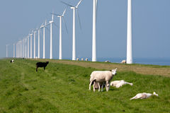 Schafe entlang der holländischen Küste mit Windmühlen Stockfotografie