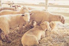 Schafe entspannen sich in ihrem Stall an der Messe Stockfotos