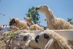 Schafe essen stockfotografie